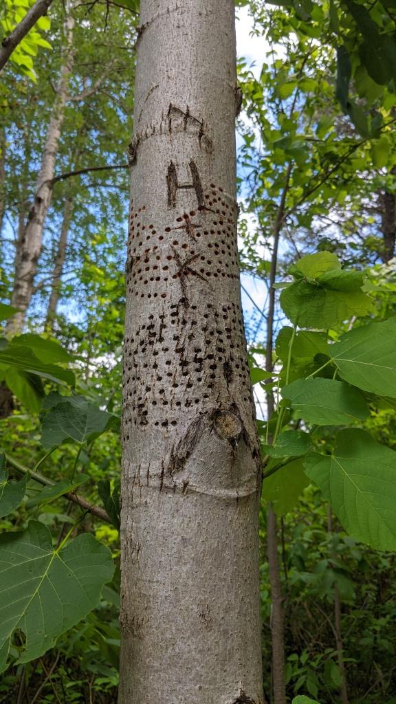 Caledon Trailway Woodpecker