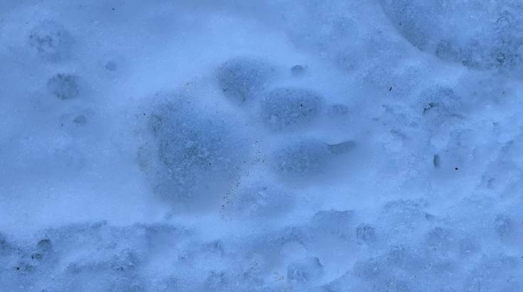 Wolf Coyote Footprint